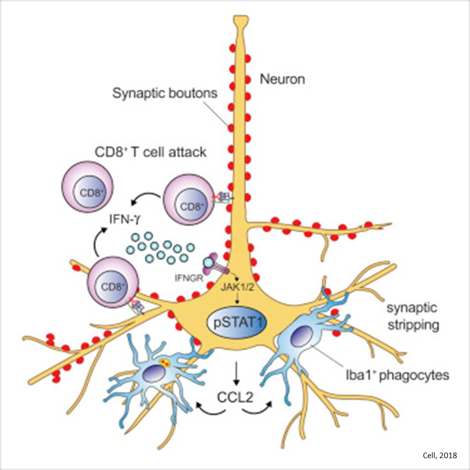 In encephalitis, neurons turn against themselves