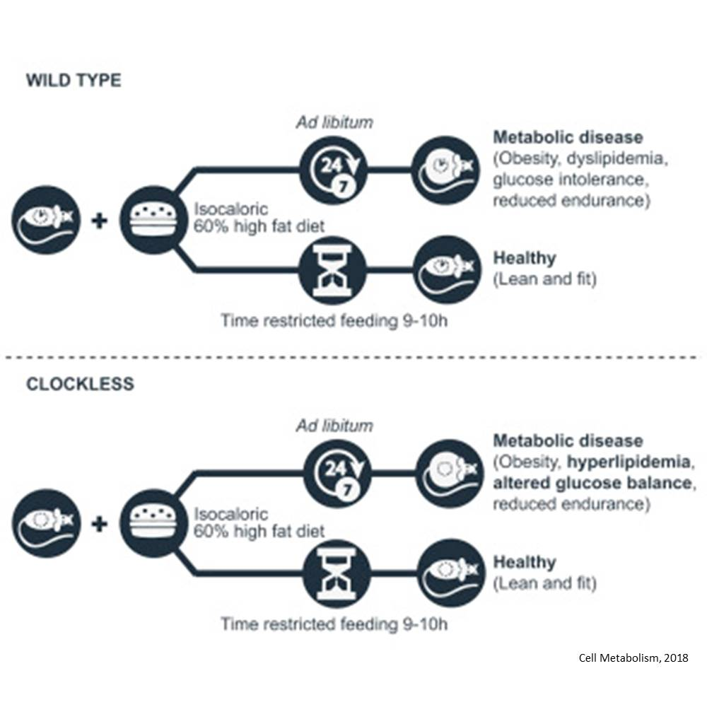 Eating in 10-hour window improves health in mice with defective circadian clocks
