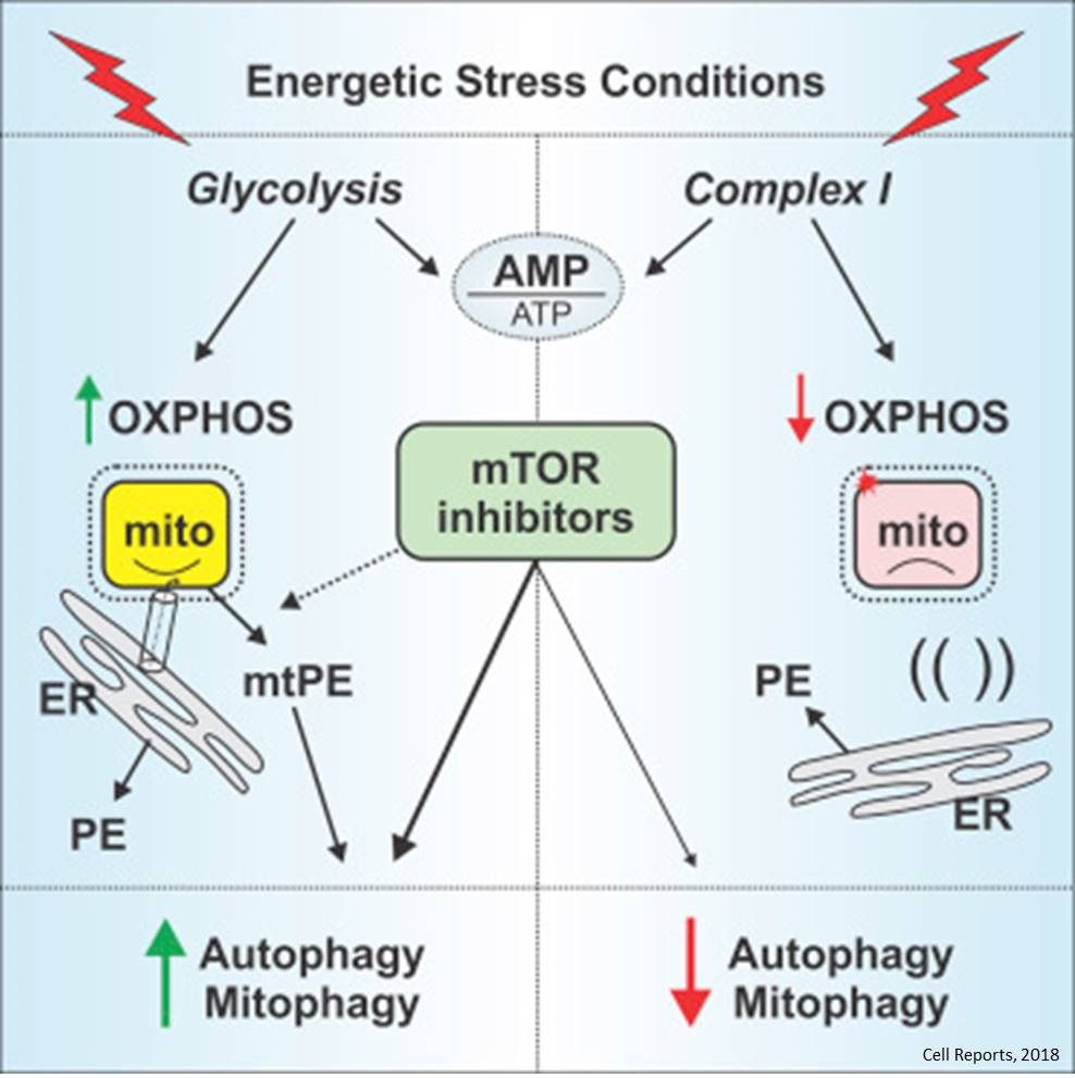 Mitochondrial Complex I Activity Is Required for Maximal Autophagy