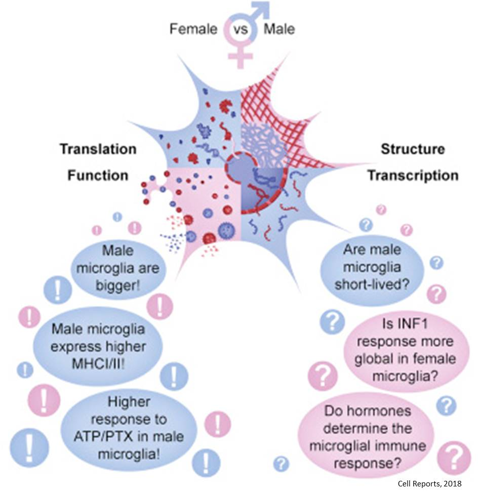 Sex difference in brain's immune cells!