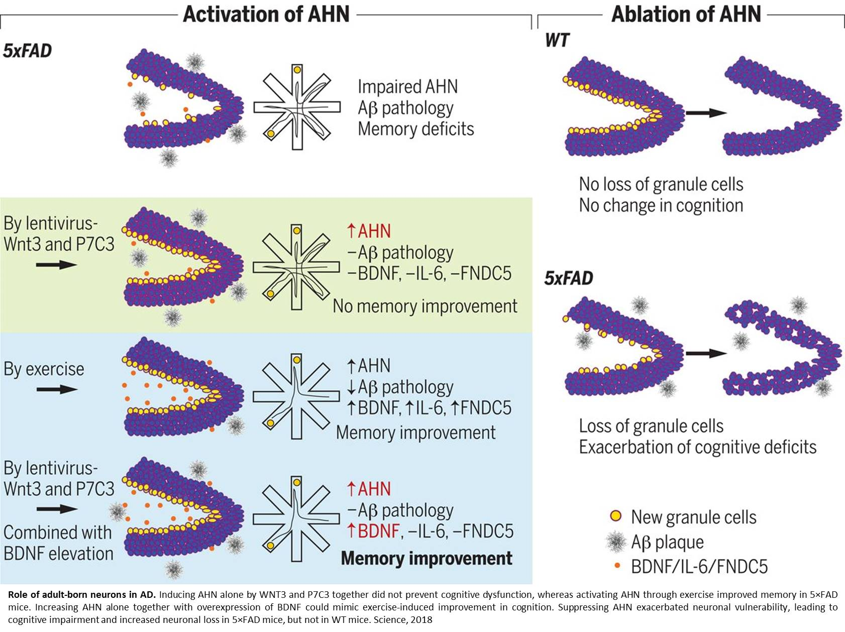How exercise generates new neurons, improves cognition in Alzheimer's mouse