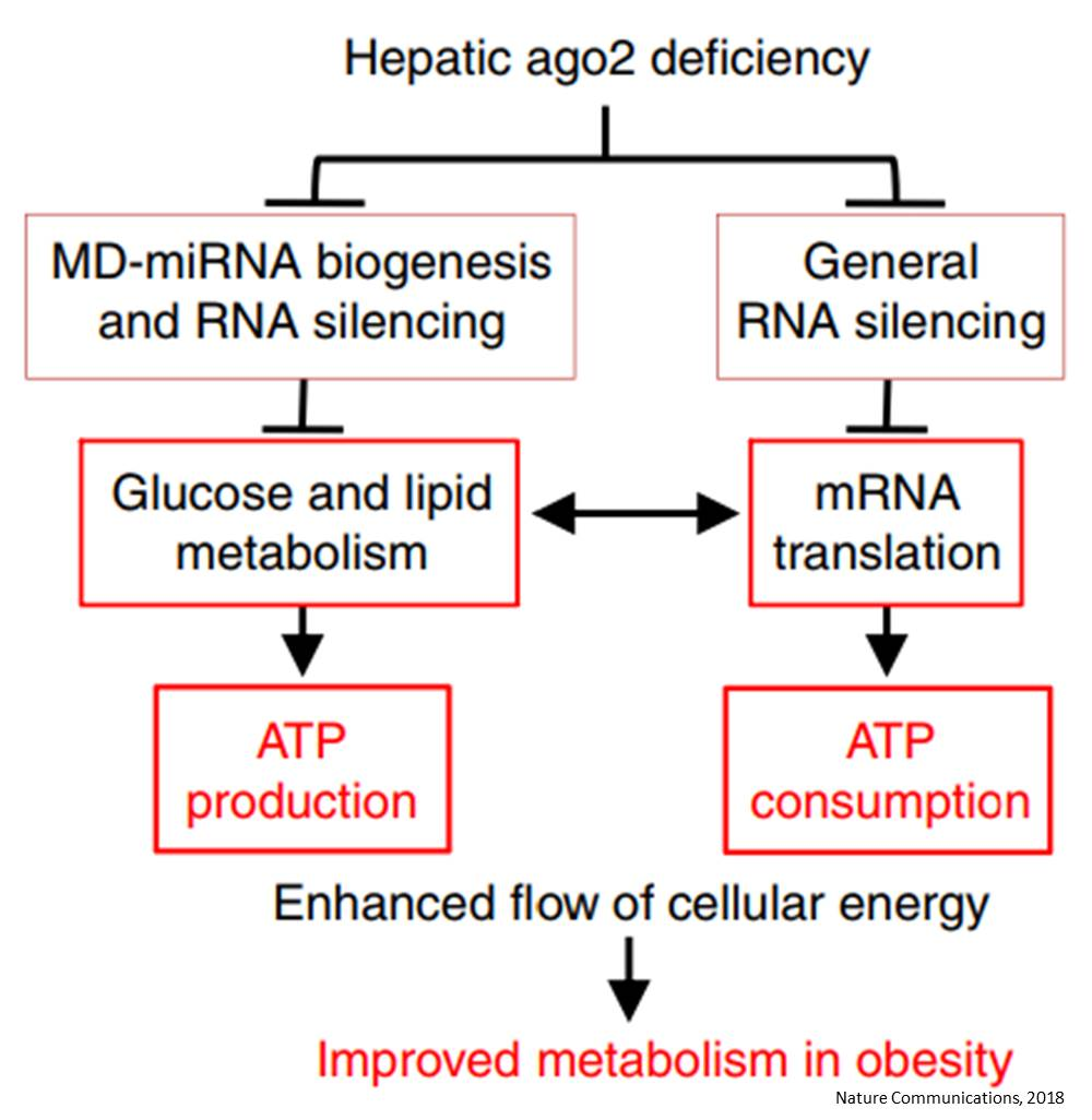 Blocking RNA silencing protein in liver to prevent obesity and diabetes in mice