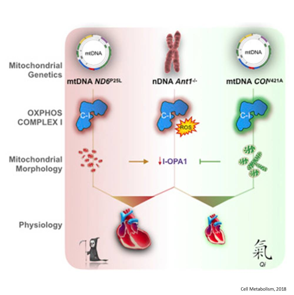 Variations in mitochondrial DNA control how nuclear DNA mutations are expressed in cardiomyopathy