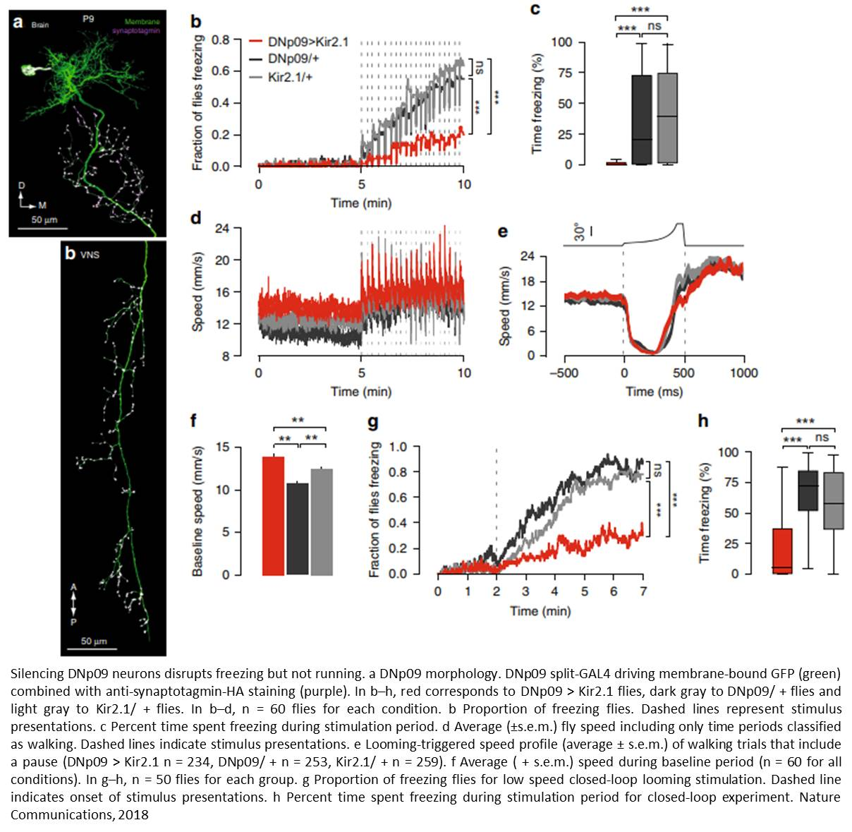 Neurons in fight-flight response identified!
