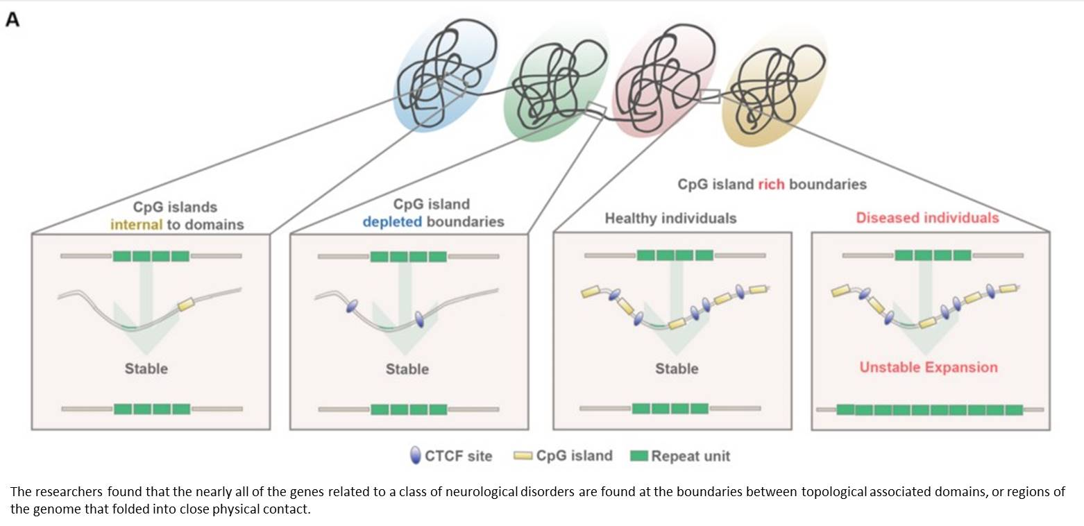 Class of neurological disorders share 3D genome folding pattern