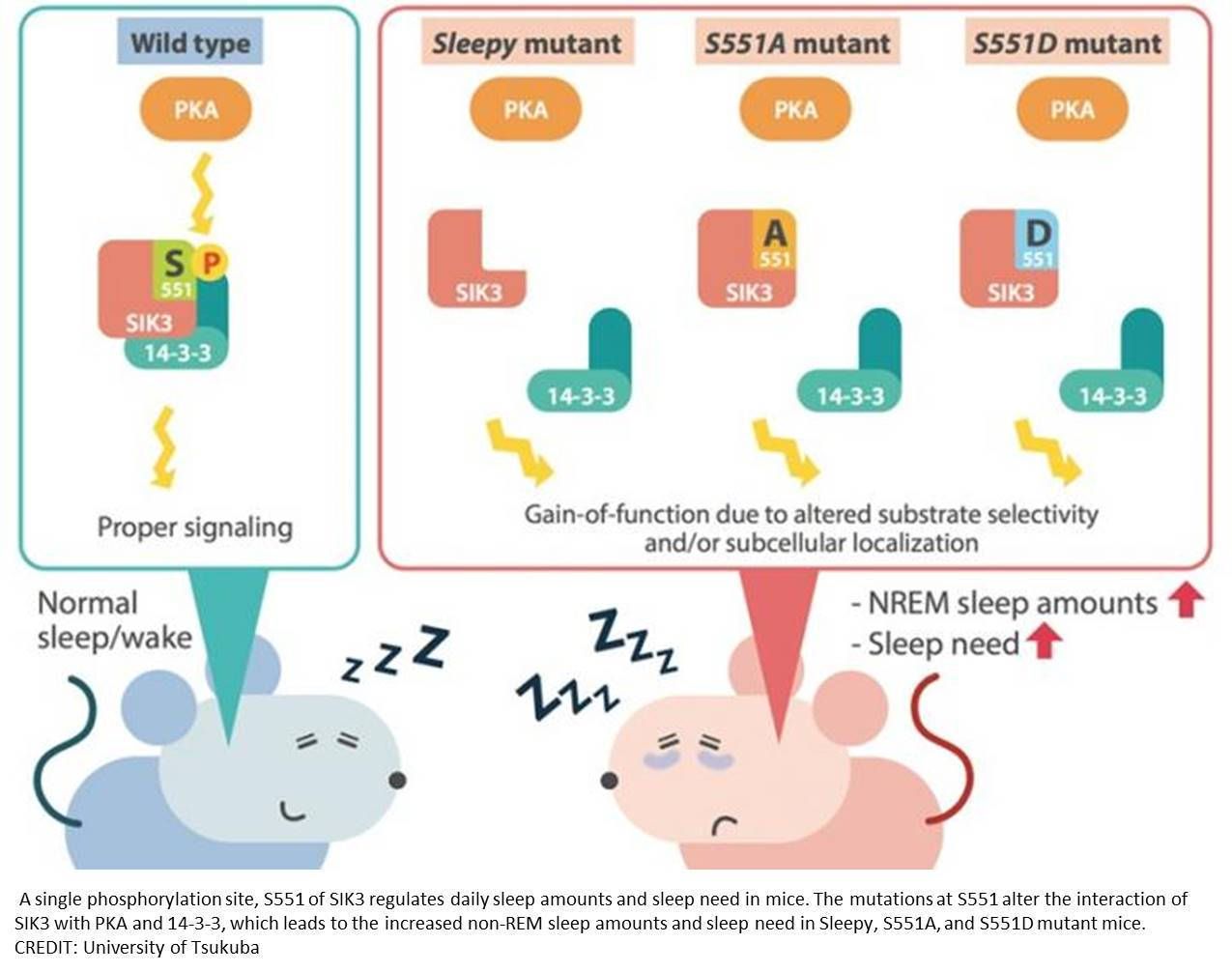 Single mutation in a protein could increase the need for sleep