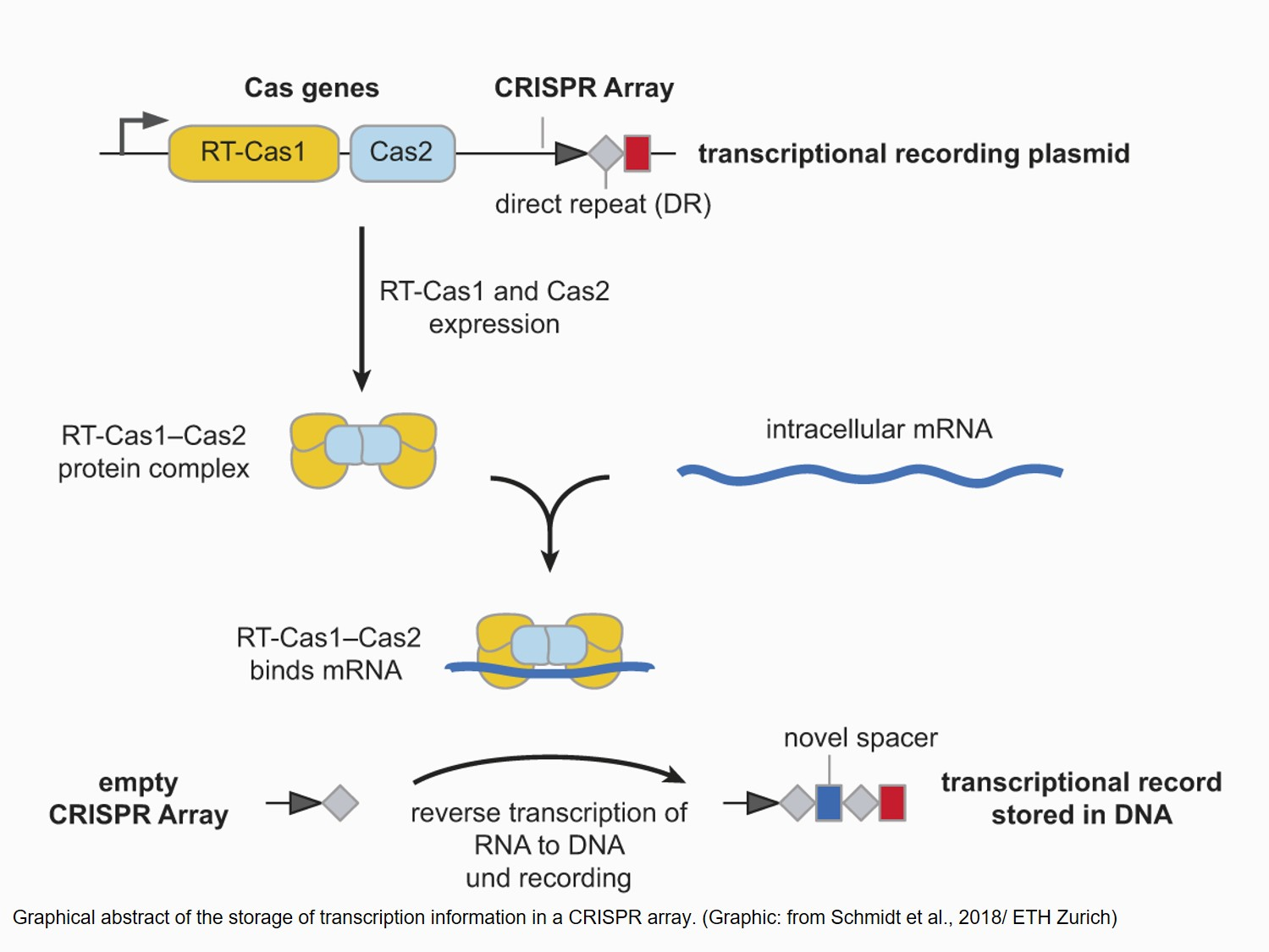 Recording and storing transcriptional events!