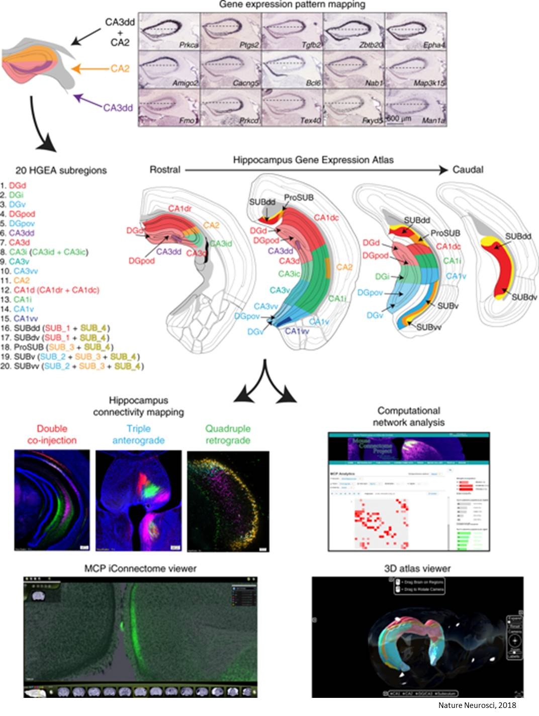 Hippocampal gene expression and connectivity mapping!
