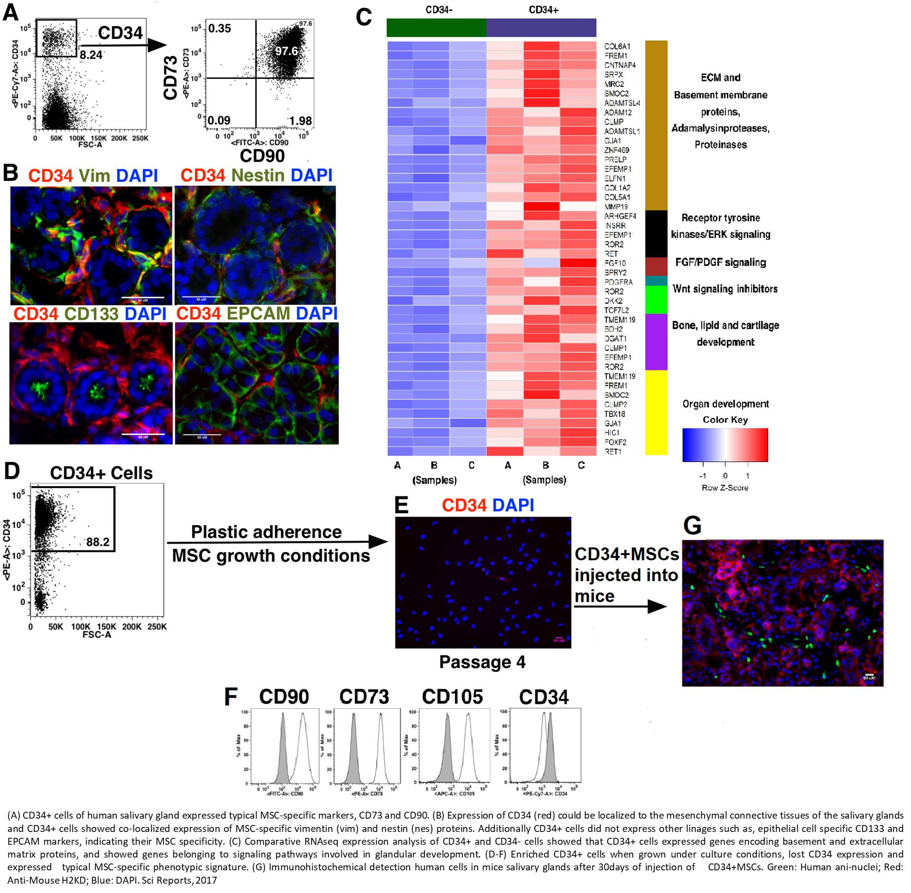 Characterization of functional mesenchymal stem cells in salivary glands
