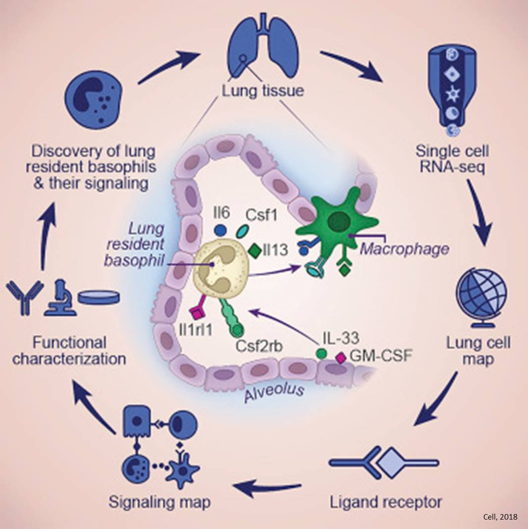 Basophils role in lung development