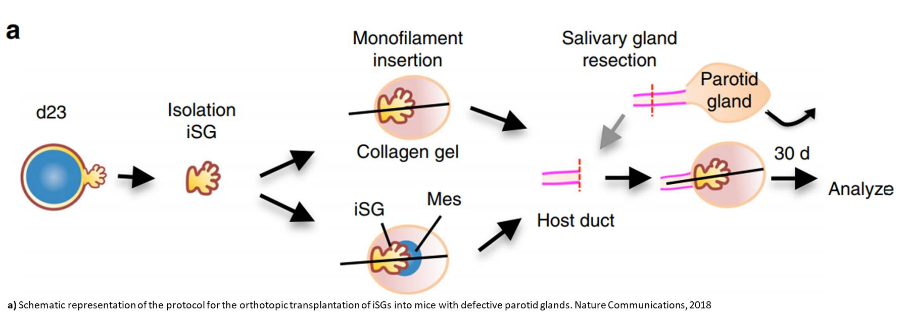 Salivary gland organoids from embryonic stem cells