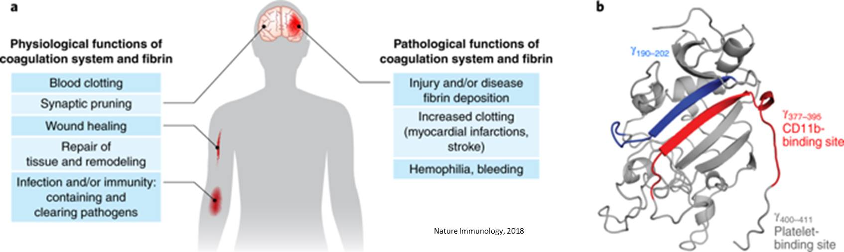 Immunotherapy against clotting factor to protect neuroinflammation and neurodegeneration