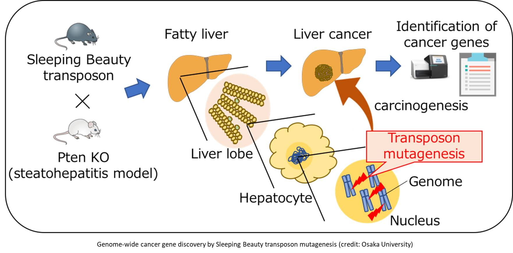 Gene screening technique called Sleeping Beauty mutagenesis to identify genes potentially responsible for a fatty liver-associated liver cancer