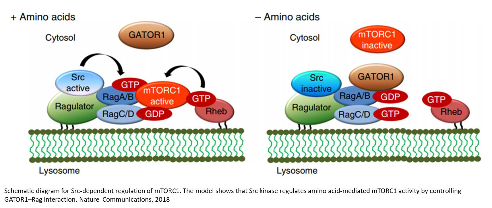 Src regulates mTOR to control cancer growth
