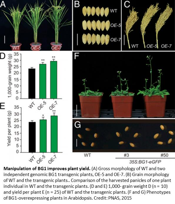 Regulator of rice grain size identified!