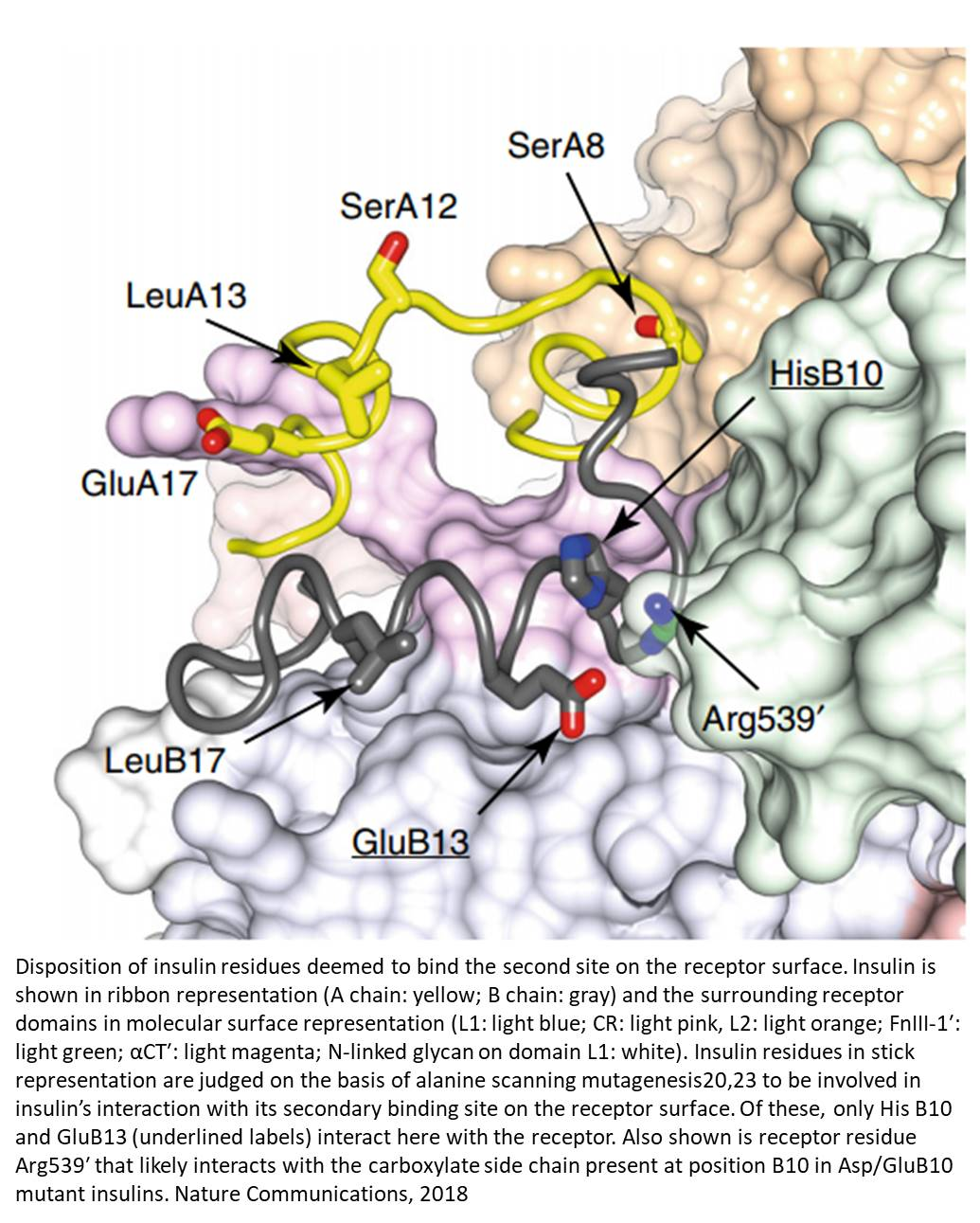 Crystal structure of insulin bound to its receptor may make insulin more effective!