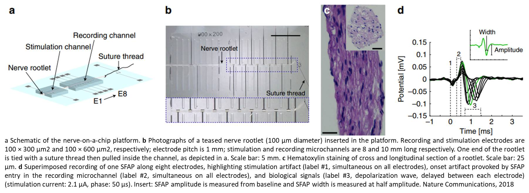 Nerve-on-a-chip platform for neural conductance measurement in explanted peripheral nerves