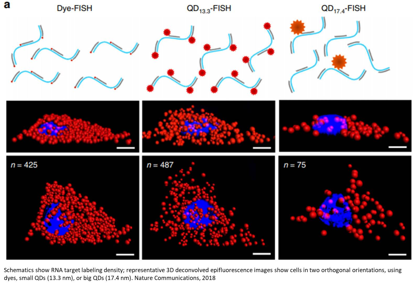 Enhanced mRNA FISH with compact quantum dots