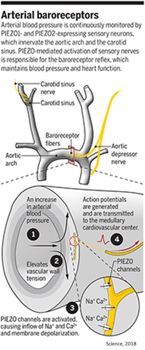 Neuronal control of blood pressure through baroreceptor