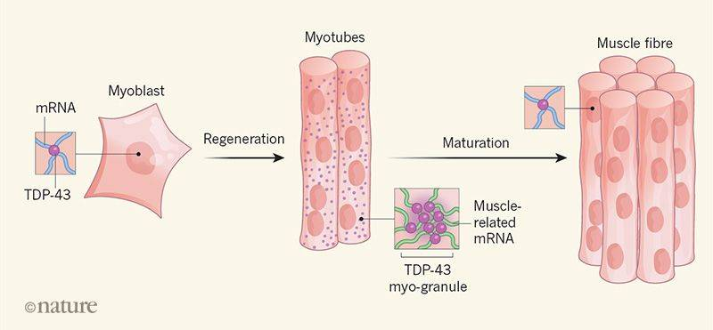 Amyloid assemblies once believed to be toxic found to play key role in muscle generation