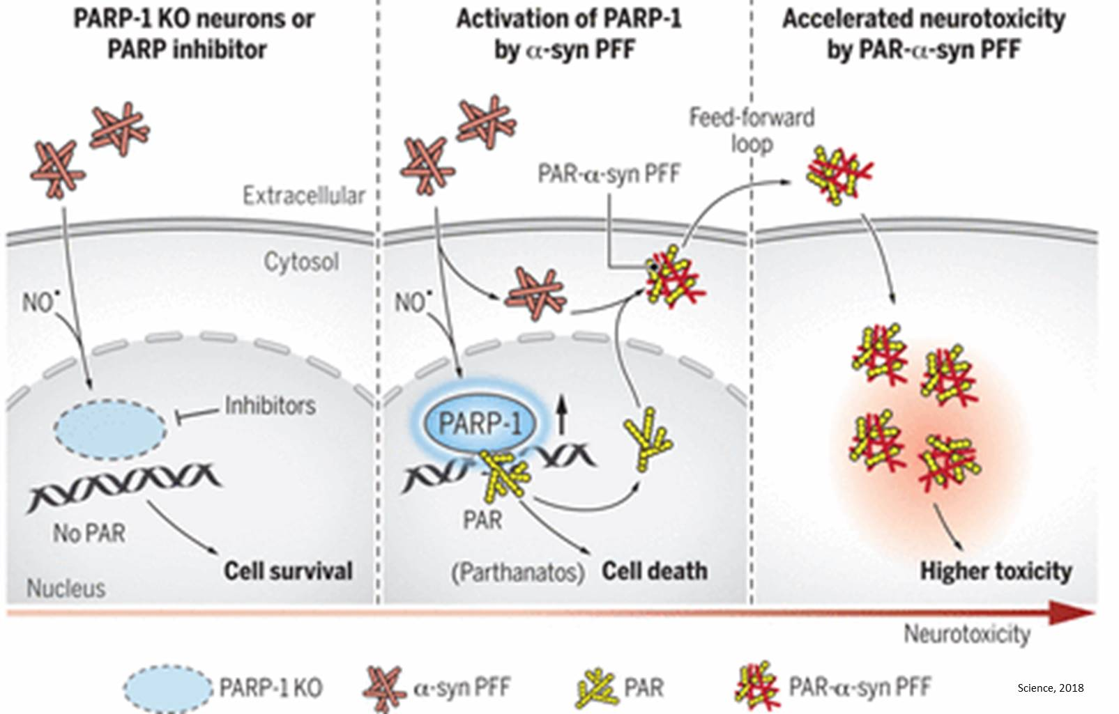A key driver of nerve cell degradation in Parkinson's disease