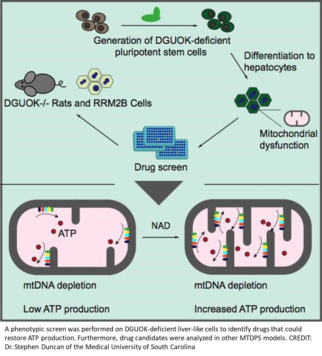 NAD can restore mitochondrial function and energy production in MTDPS liver-like cells