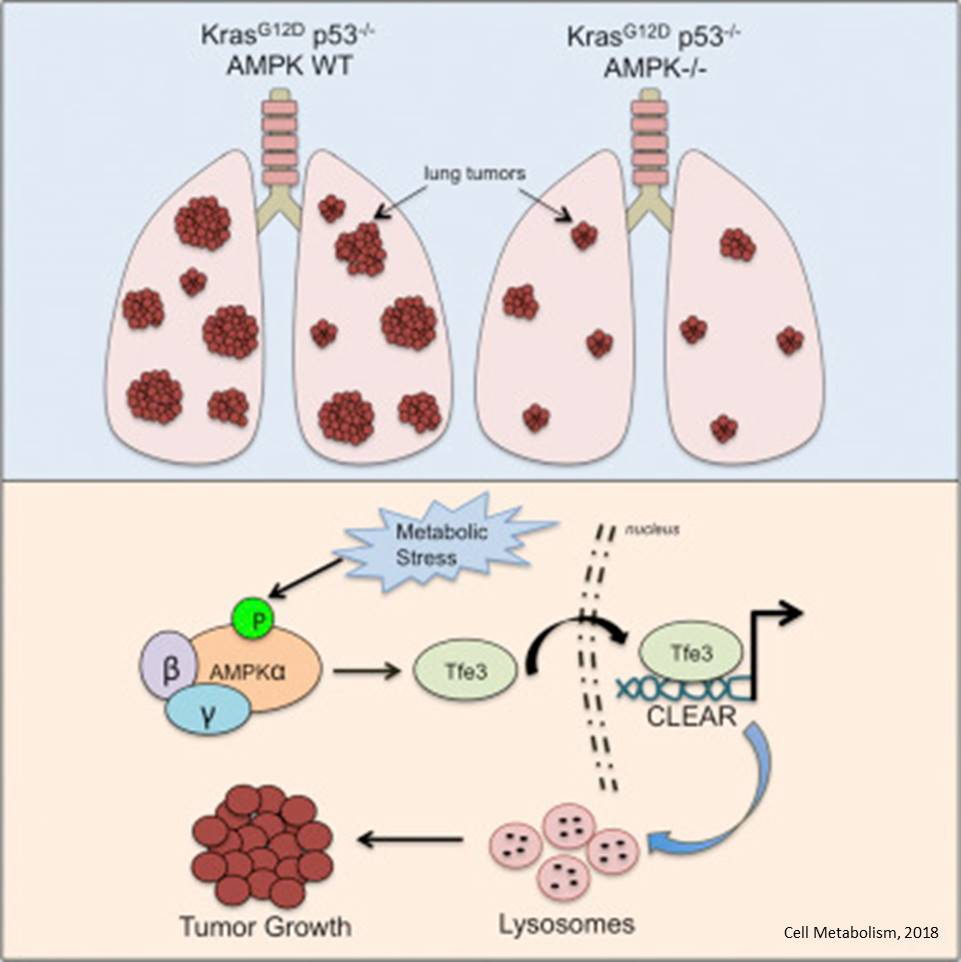 Why AMPK can both hinder and help cancer