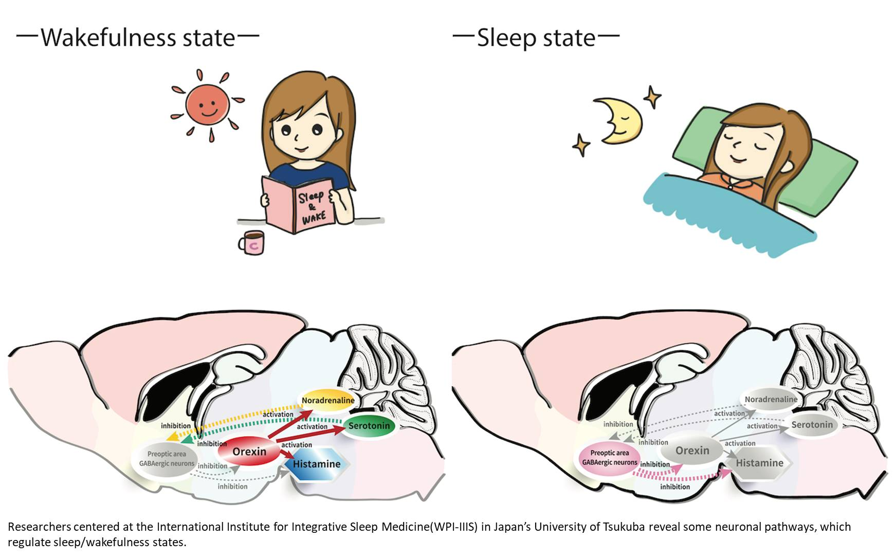 A Peek Into the Interplay Between Sleep and Wakefulness