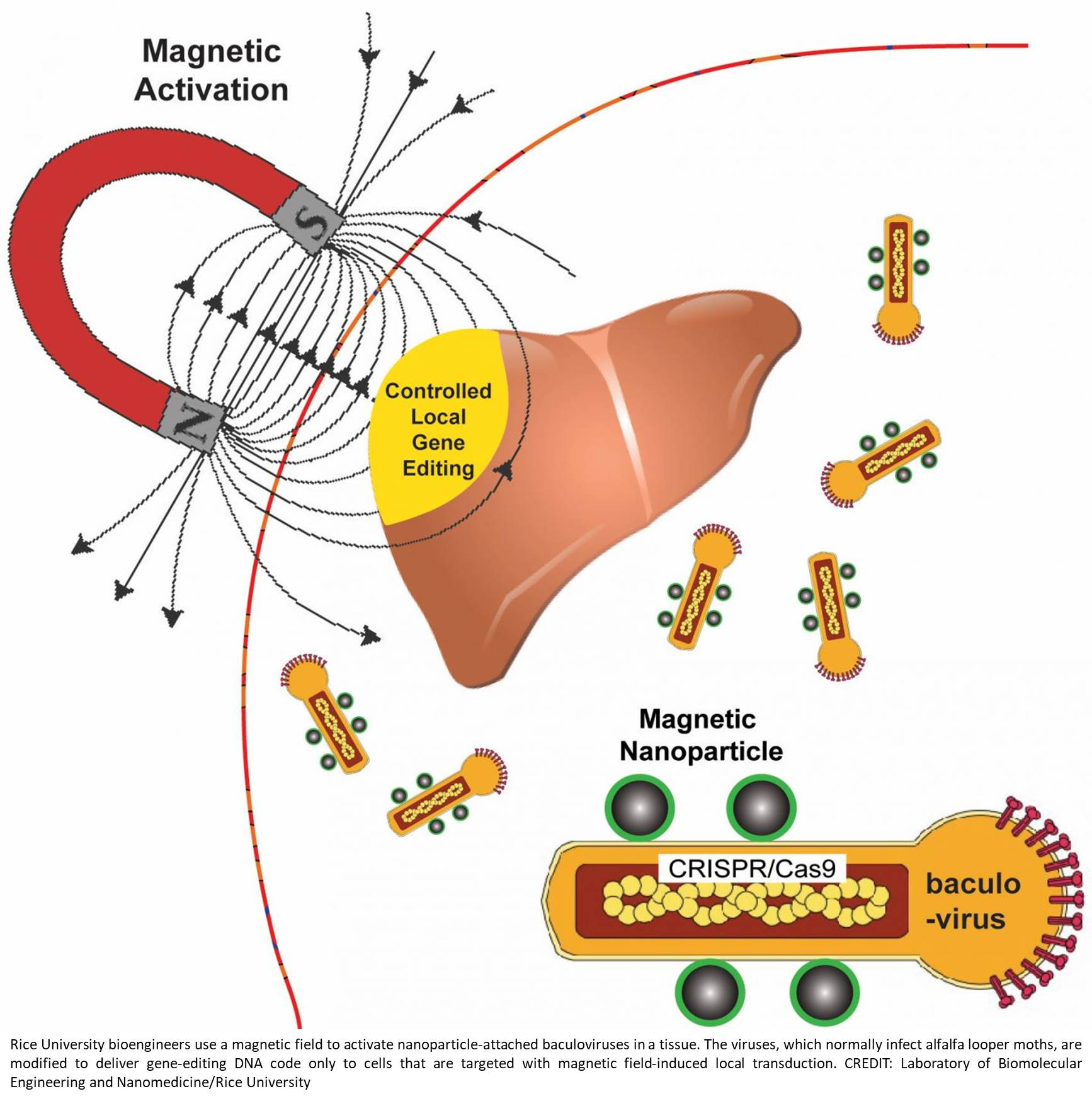 Controlled gene editing with magnetic particles