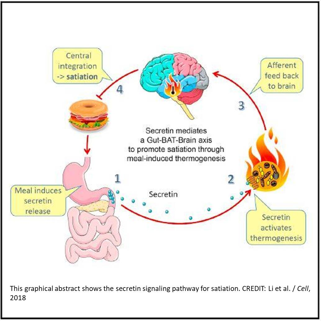 Gut hormone secretin and brown fat interact to tell the brain it's time to stop eating