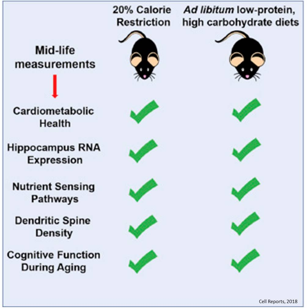 Low Protein High Carb Diet Shows Promise For Healthy Brain Aging Science Mission