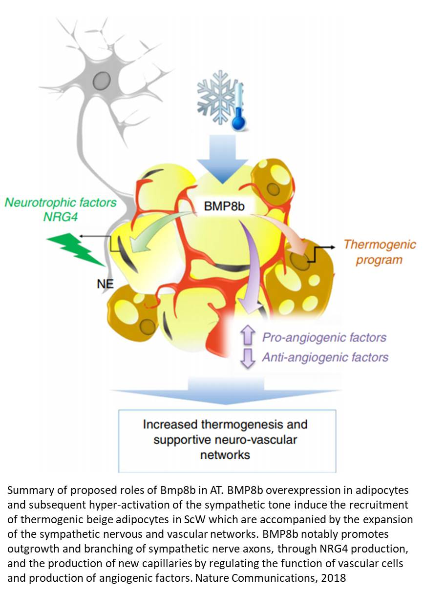 Adrenergic-induced remodeling of the neuro-vascular network in adipose tissue