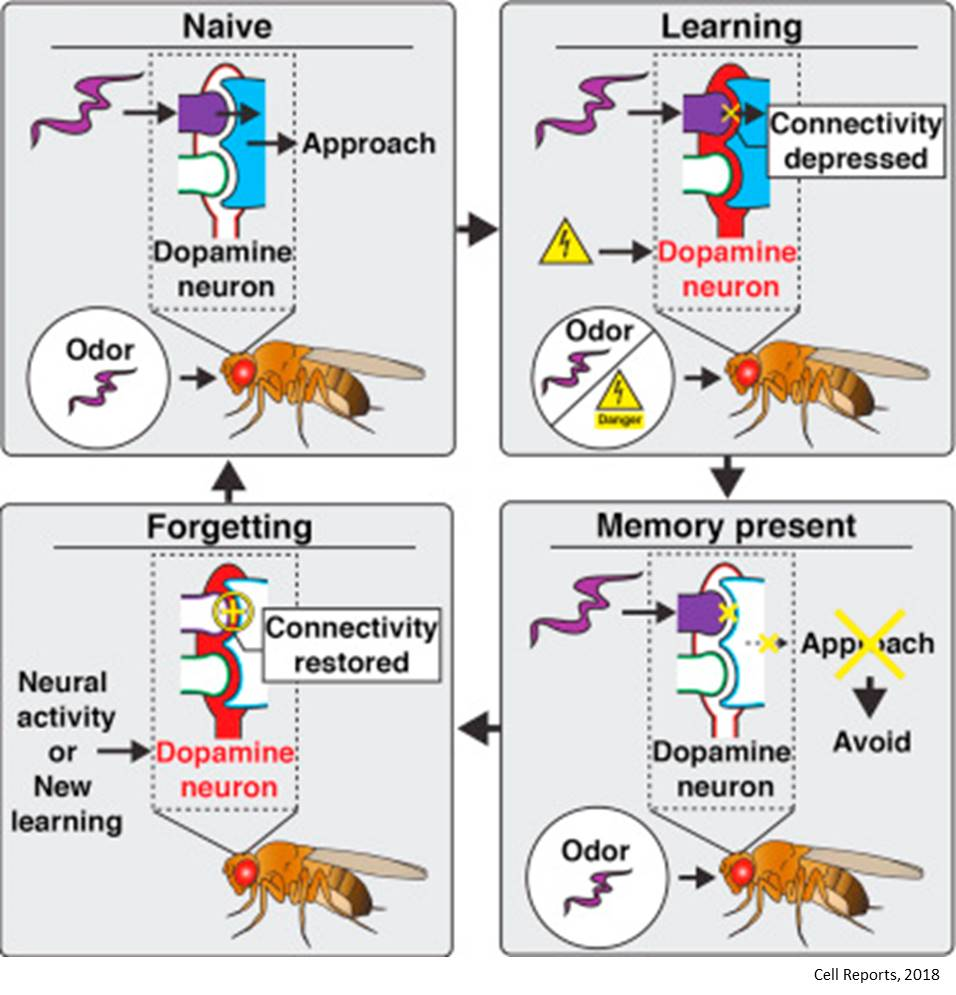 Decoding mechanism of remembering – and forgetting