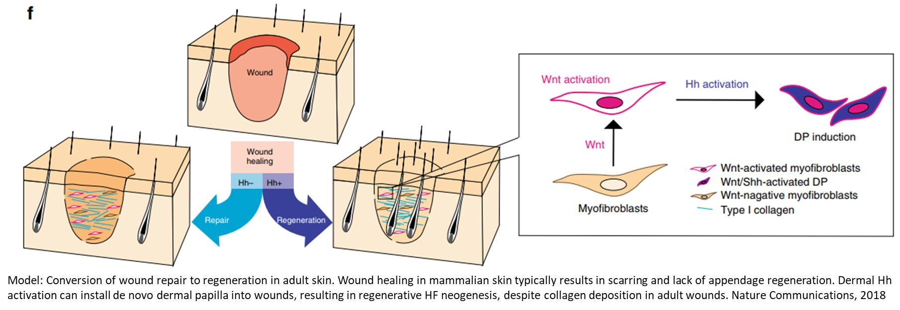 Regrowing hair on wounded skin
