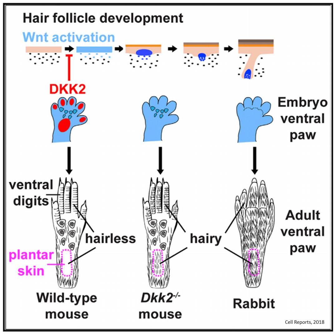 Why some parts of the body have hair and others don't