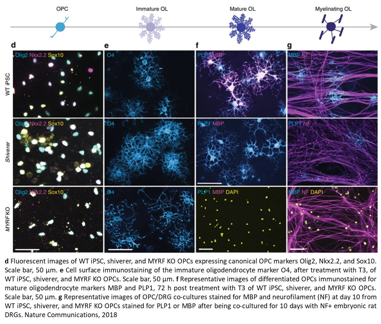 Rapid functional genetics of the oligodendrocyte lineage using pluripotent stem cells