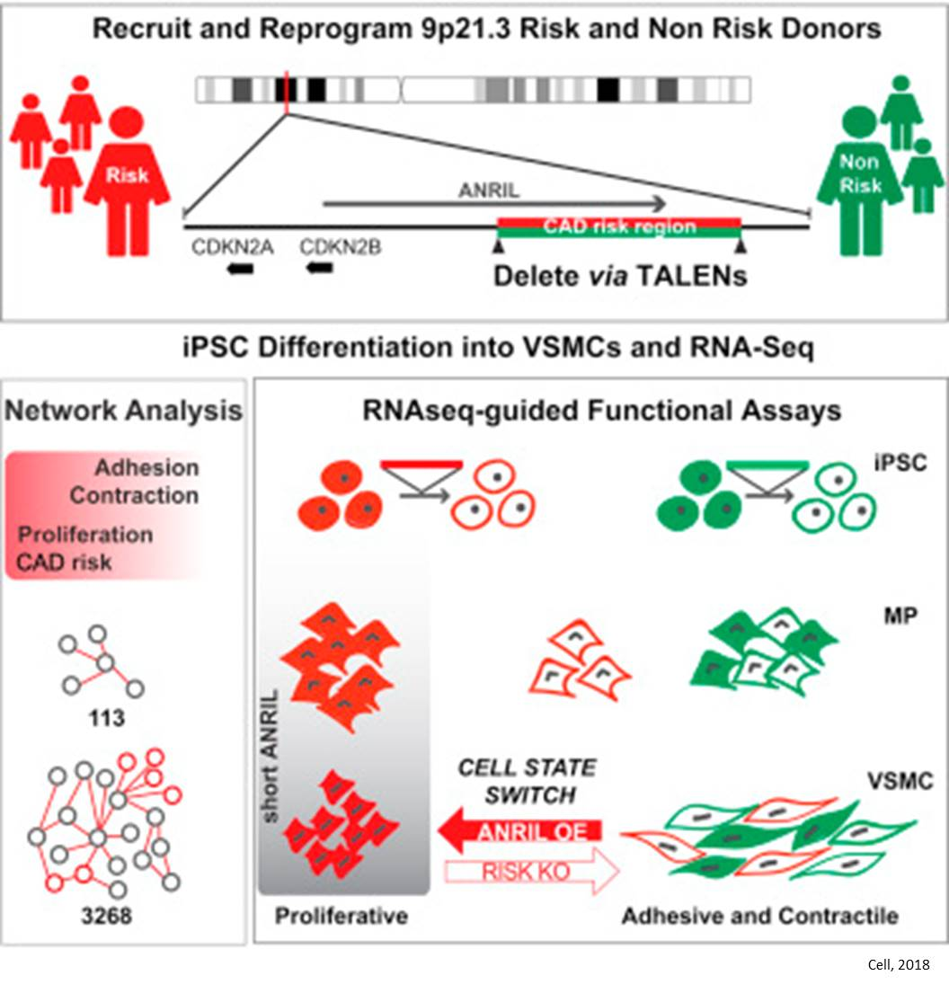 Function of cardiovascular risk gene unraveled using genome editing of stem cells