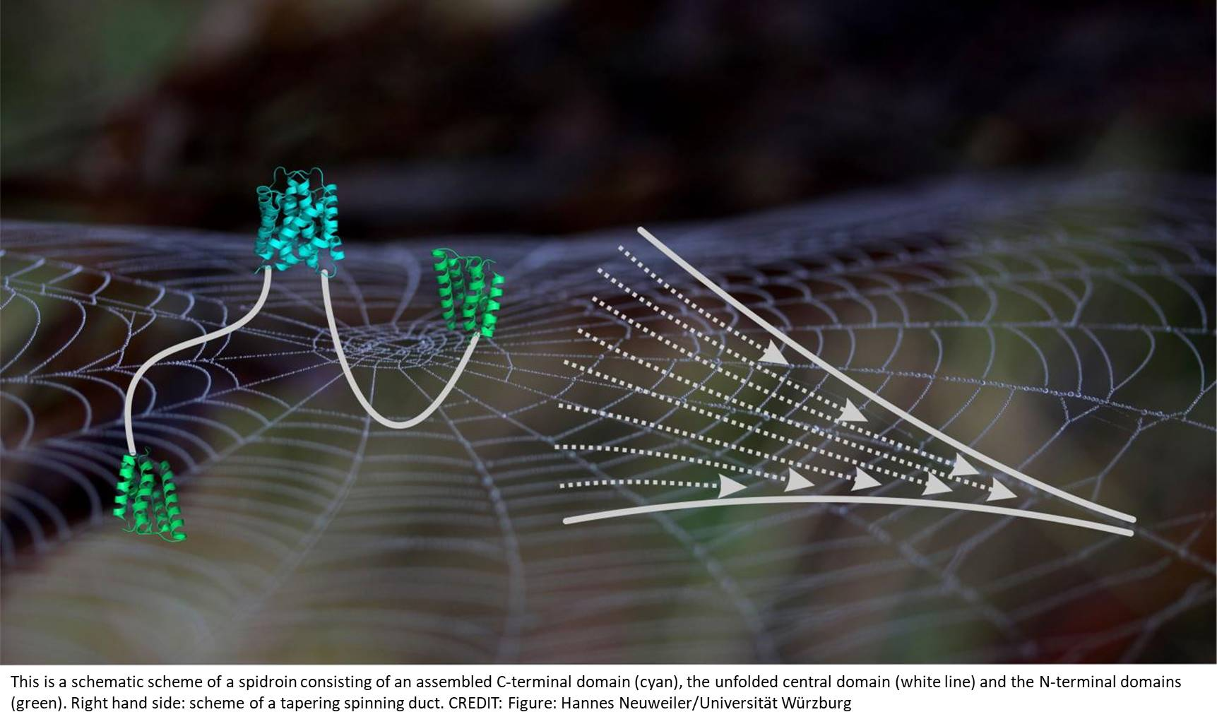Two-step self-assembly in spider silk