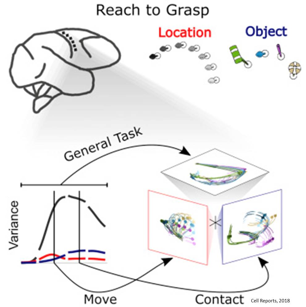 Neurons in the brain work as a team to guide movement of arms, hands