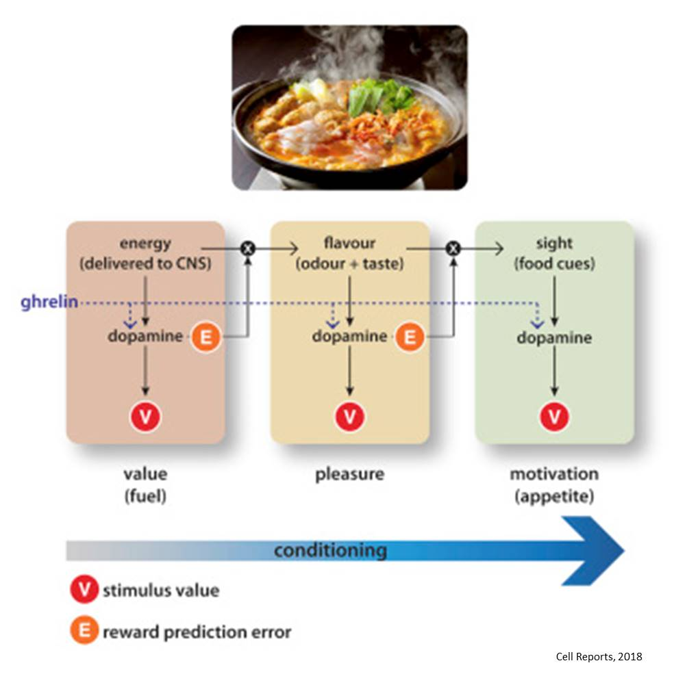 Ghrelin promotes conditioning to food-related odors