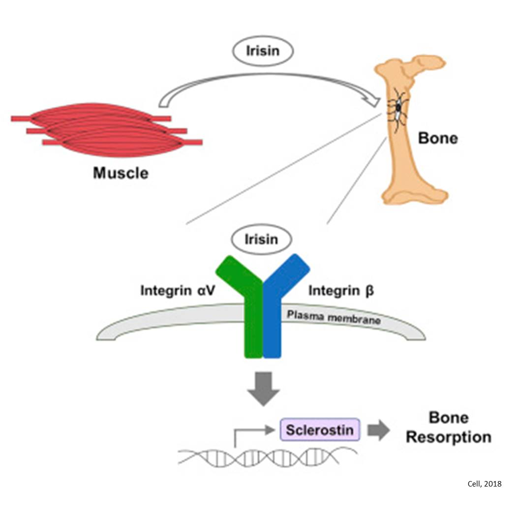 Receptor for exercise hormone irisin found!