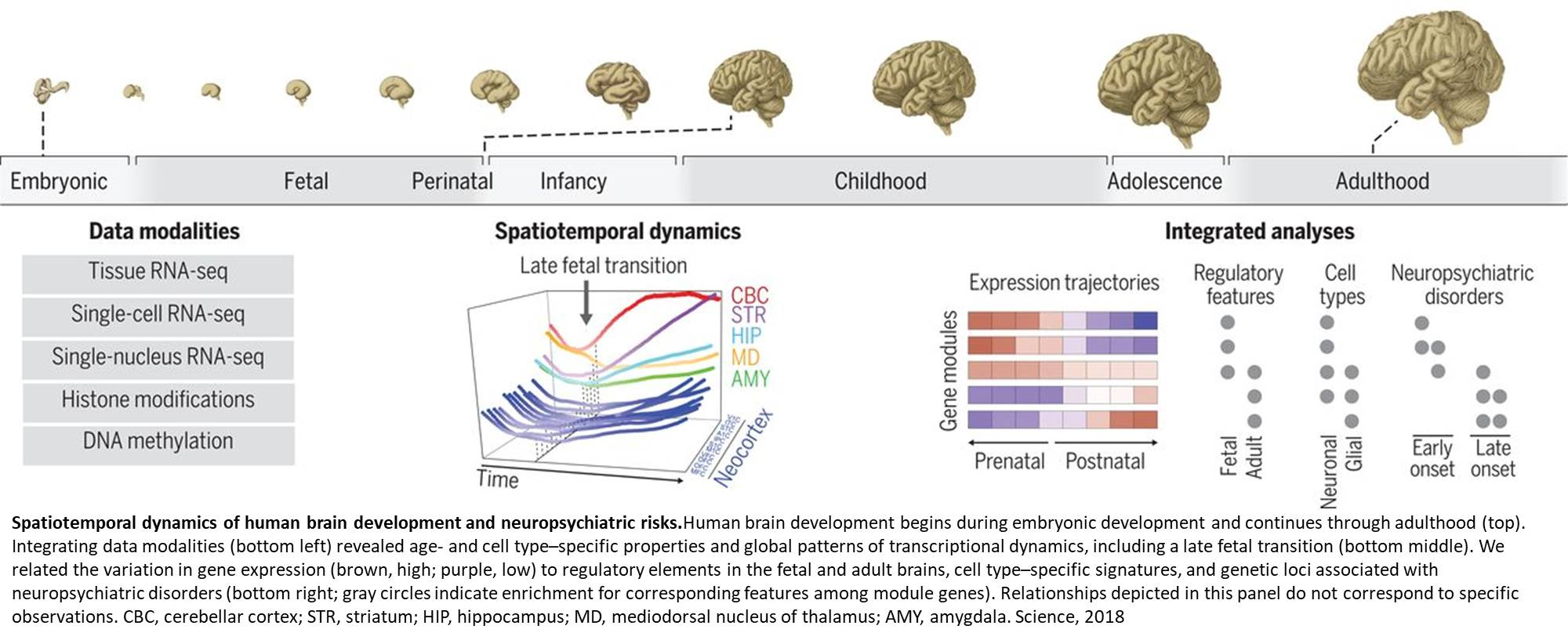 Roots of neuropsychiatric diseases found in the developing brain