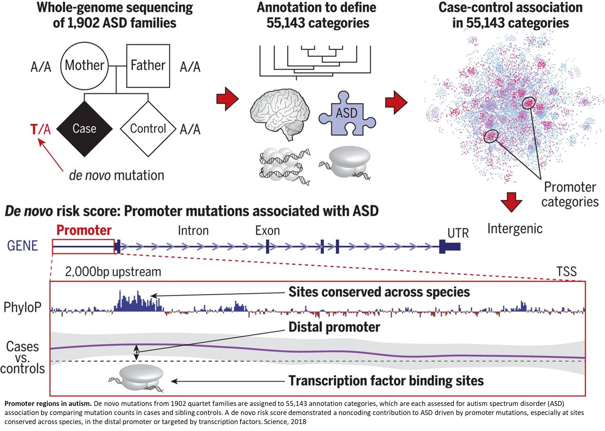 Mutations in 'promoter regions' of the genome implicated in autism