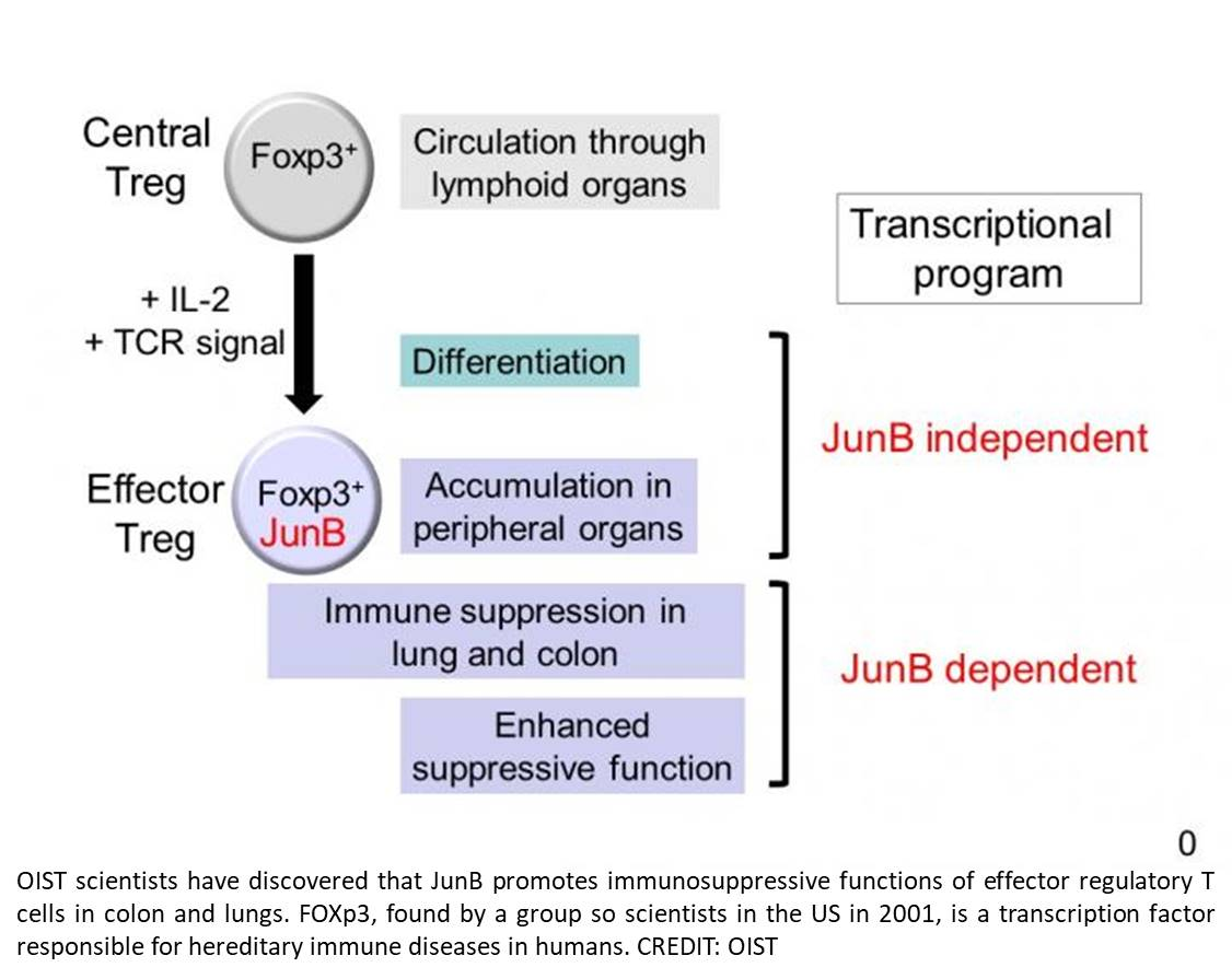 How a key transcription factor helps regulate the immune system