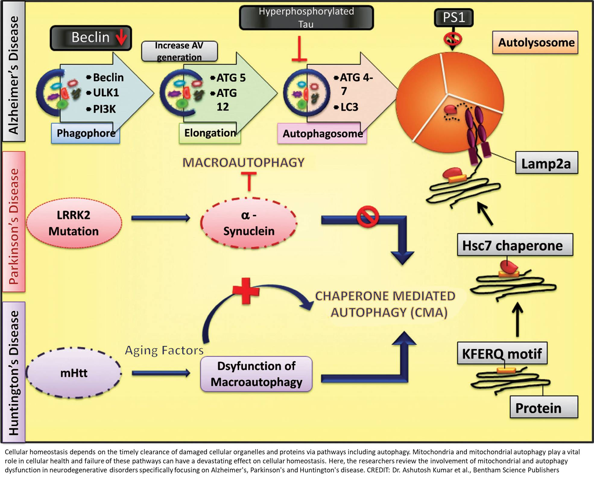 Autophagy and mitochondria: Targets in neurodegenerative disorders