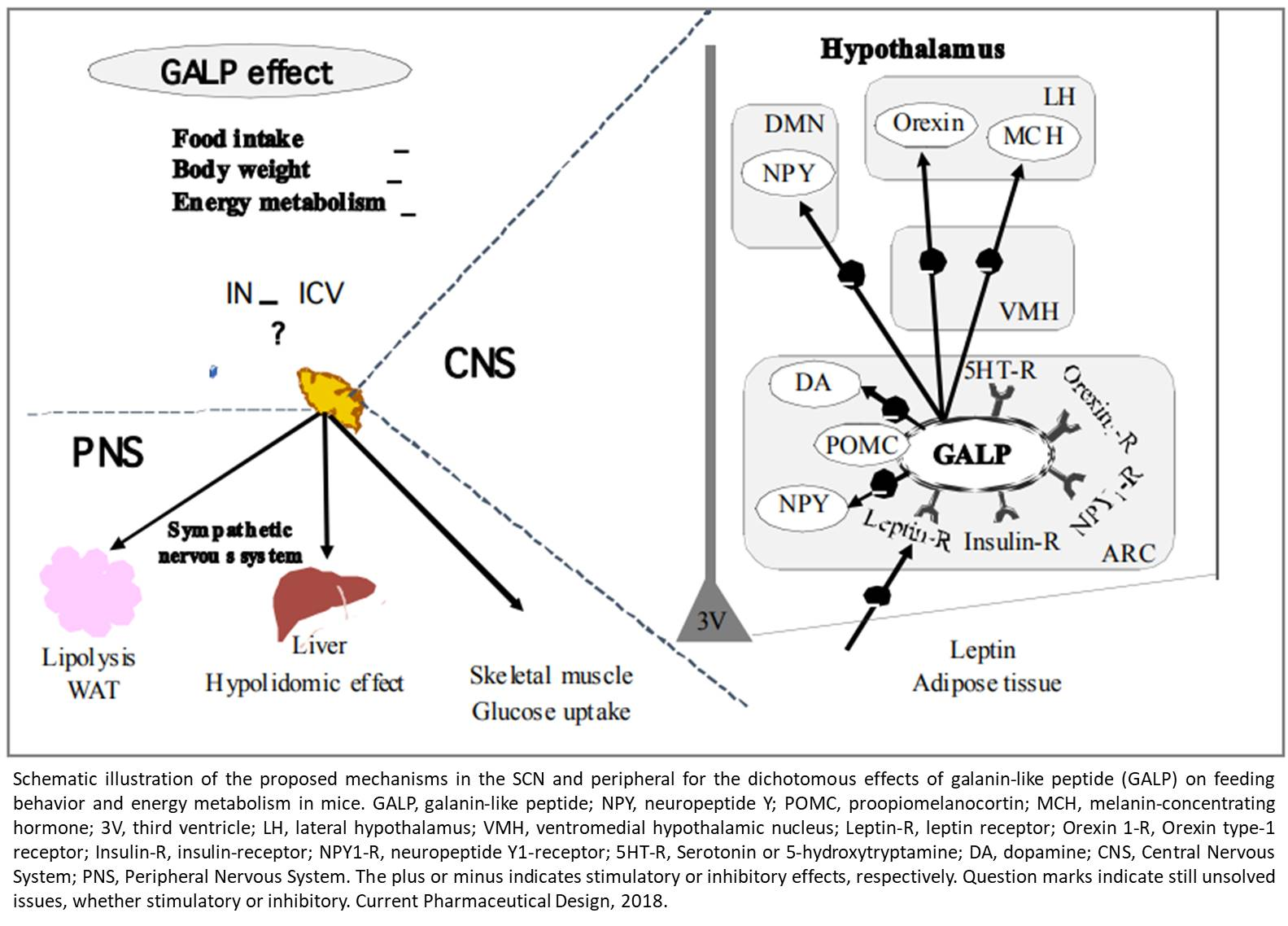 Regulation of feeding behavior and energy metabolism by galanin-like peptide (GALP)