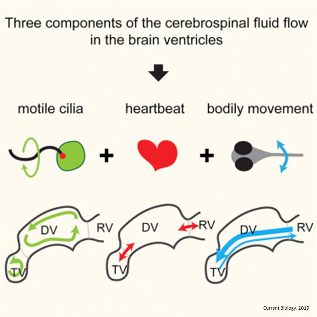 the role of cilia in brain csf flow and ventricular development