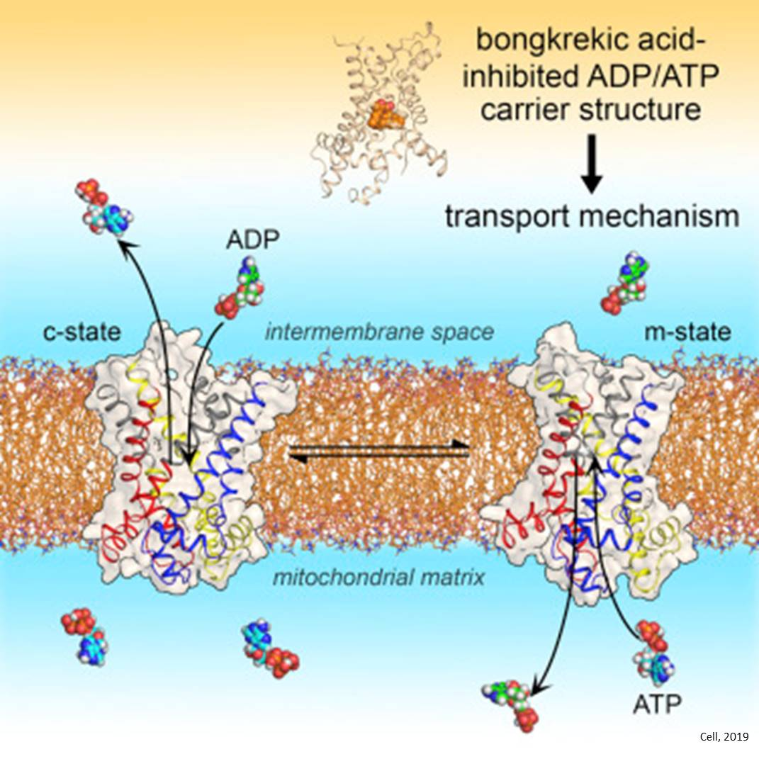 Structure of mitochondrial ADP/ATP transporter resolved!