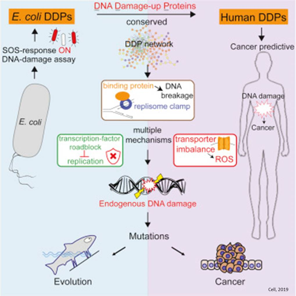 Endogenous proteins can cause DNA damage and cancer