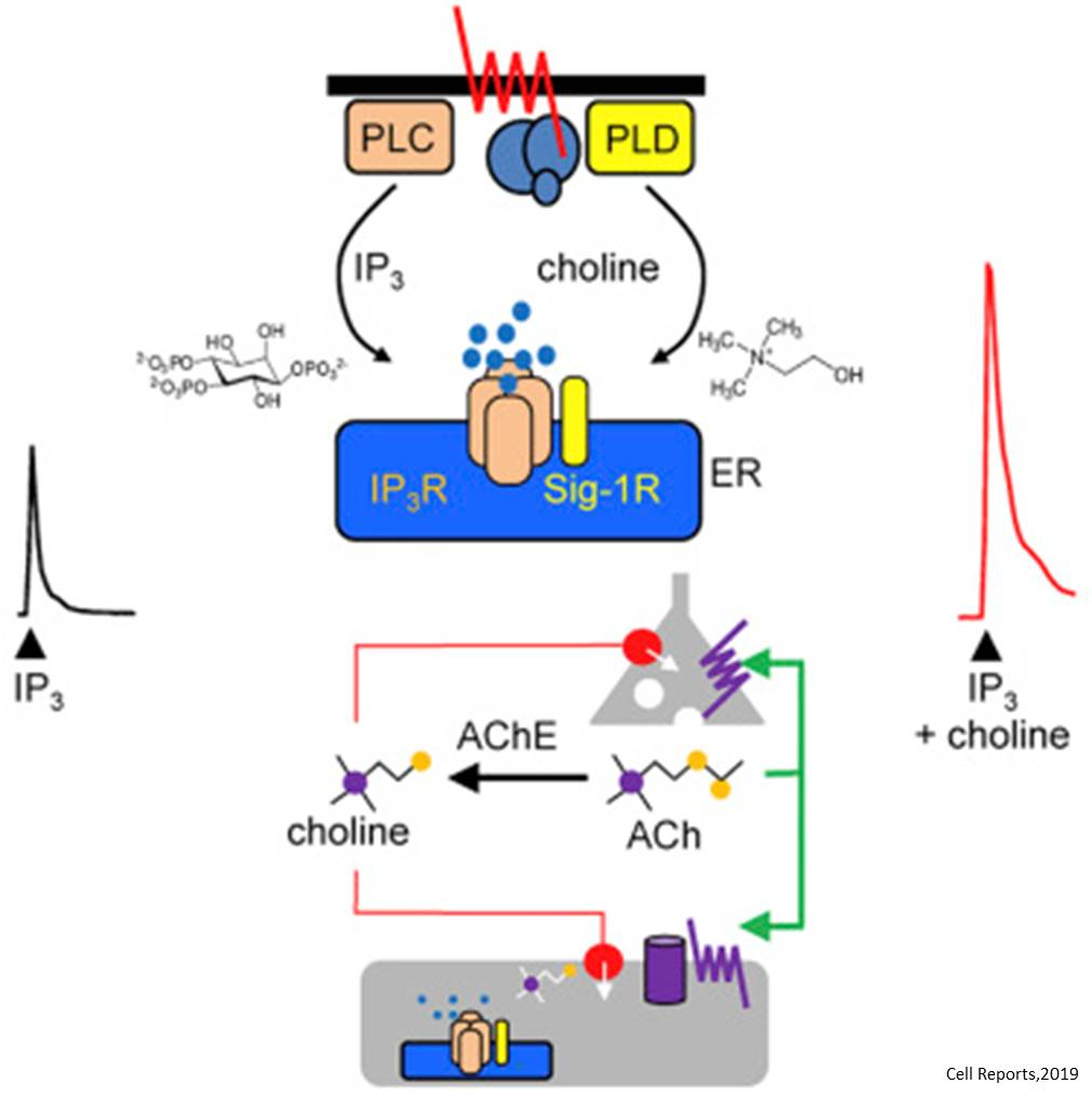 Endogenous ligand for sigma receptor, activated by psychoactive drugs identified!